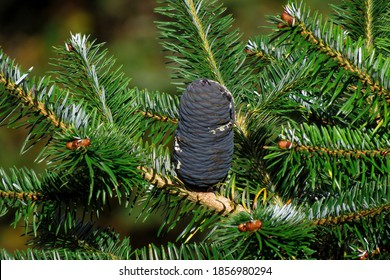 Fir tree known as Abies balsamea or balsam ,Firs are species of evergreen coniferous trees in the family Pinaceae.                                    - Shutterstock ID 1856980294
