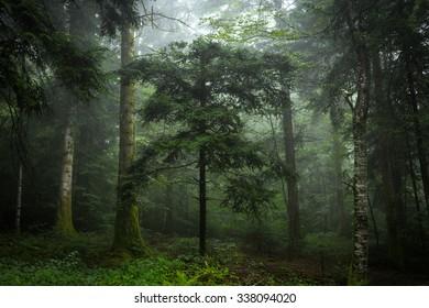 Fir tree with mist