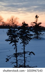 Fir tree on winter day around sunset time.