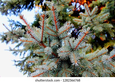 Fir tree pine branch spruce forest white background. Spruce or pine tree december scene as fir pine forest background space. Fir tree branch spruce forest. Coniferous blue fir branch in winter forrest