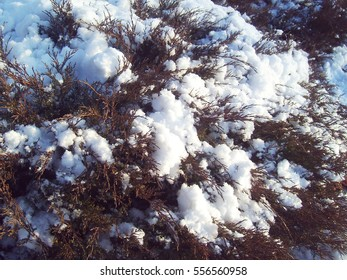 A fir tree in the snow