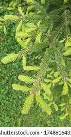 fir tree sprouts in spring