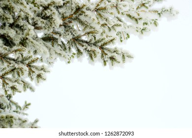 Fir tree spruce branch in winter holiday snow isolated on white background. Spruce or pine tree in snow flakes december scene as fir pine forest background space. Fir tree spruce branch & fluffy snow