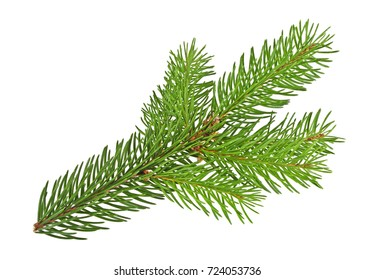 Fir tree twig isolated on white background