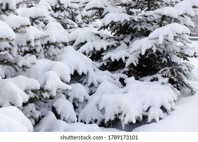 Fir trees covered with heavy snow