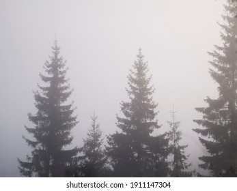Fir trees in the fog in the mountains. High quality photo