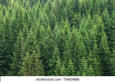 fir trees forest evergreen background