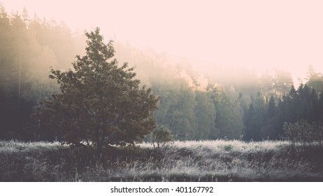 fir trees on a meadow down the will to coniferous forest in foggy forest in latvia - vintage film effect