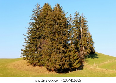 Fir trees on meadow in the hilly landscape, Allgäu, Bavaria