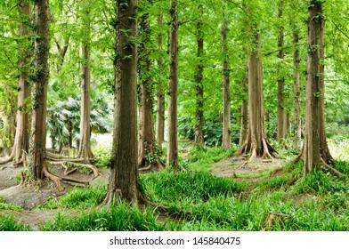 The fir trees in summer