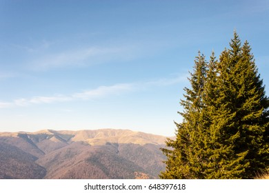 Fir trees in a sunny day. Mountains peaks in the background.