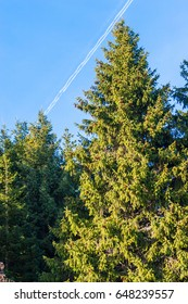 Fir trees in a sunny day. Trail of jet plane in the sky.