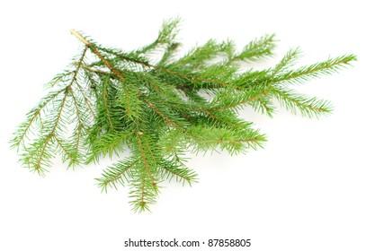 fir twigs on white