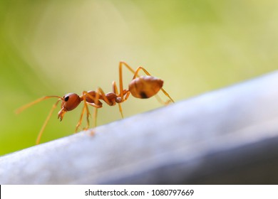Fire ant in nature with macro photography
