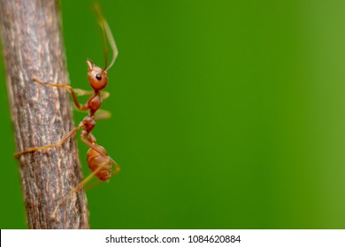 Fire ant on branch in nature green background, Life cycle