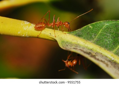 Fire Ant on a mango tree
