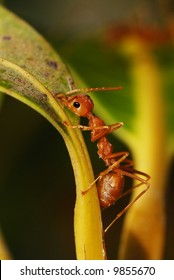 Fire Ant on mango tree