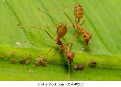 fire ants meeting on banana leaf