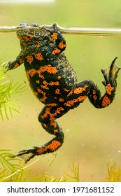 Fire bellied toad or Bombina bombina under water with colorful alarming belly facing camera