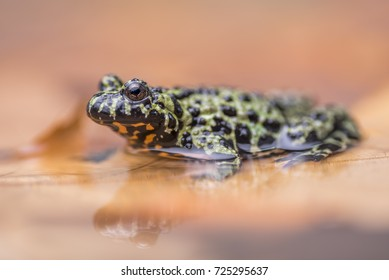 a Fire Bellied Toad, sitting in shallow water, reflecting onto the water.