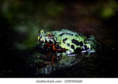 Fire belly toad on water with reflections, Oriental Fire Bellied Toad