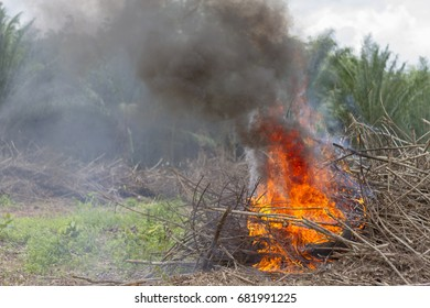 Fire Burning. Before planting rubber trees when cutting rubber trees, drought will leave the branches that need to be burned
