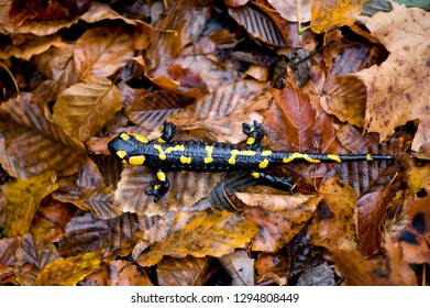 fire carpathian salamander