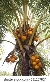 Fire coconut, Its shell, is orange to yellowish gold in color.