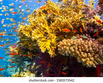 Fire Coral in the Coral Garden
