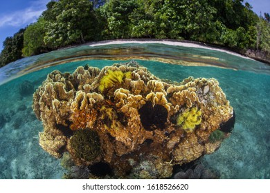 Fire coral grows in the shallows near a tropical island in Raja Ampat, Indonesia. This region is known for its incredible marine biodiversity and is a popular destination for diving and snorkeling.