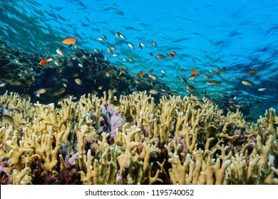 Fire Corals at the Red Sea Egypt