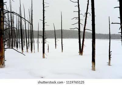 Fire damaged burnt trees on edge of snow field Yellowstone National Park
