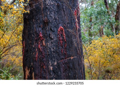 Fire damaged gum trees in Wilsons Promomntory national Park, Victoria, Australia. The red sap can be clearly seen weeping from the tree trunk