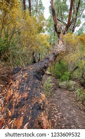 Fire damaged gum trees in Wilsons Promomntory national Park, Victoria, Australia
