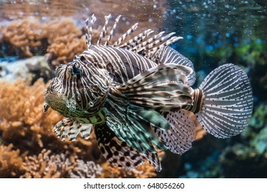 Fire fish afreican lionfish brown and white poiseness tropical