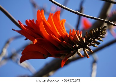 Fire flower in South-Africa