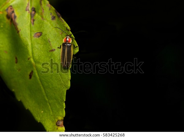 a fire fly resting on a green leaf