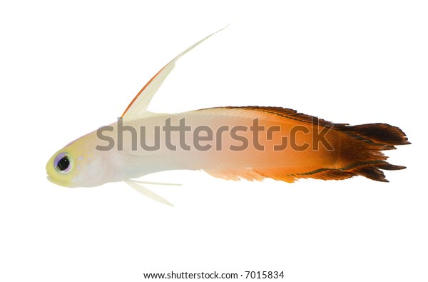 Fire Goby - nemateoletris magnifica in front of a white background