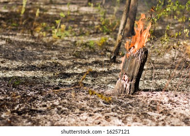 fire in the pine tree forest
