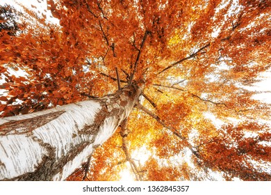Fire red birch for the fall Season