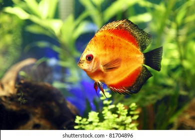Fire Red Discus Fish.
