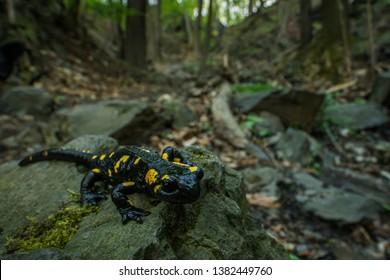 Fire salamander in the natural environment, close up, wide macro, natural habitat, Salamander Salamander, Czech Republic