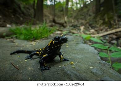 Fire Salamander in the natural environment, wide macro, natural habitat, Salamandra salamandra, Czech Republic