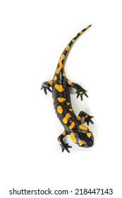Fire Salamander on a white background