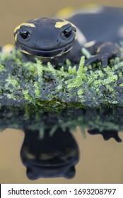 Fire salamander reflected in the water (Salamandra salamandra)