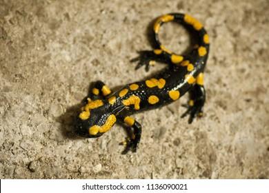 fire salamander [Salamandra salamandra]