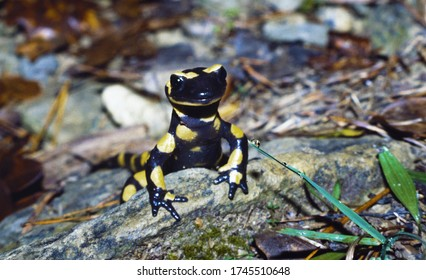 Fire salamander (Salamandra salamandra) in the forest