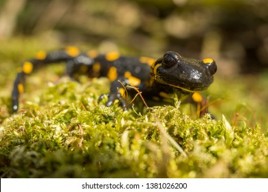 Fire salamander (Salamandra salamandra) on moss in the primeval forest. Bieszczady Mountains. Poland