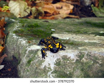The fire salamander (Salamandra Salamandra) on a stone, Slovakia.
