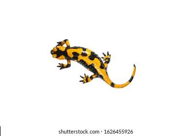 Fire salamander (Salamandra salamandra) on white background